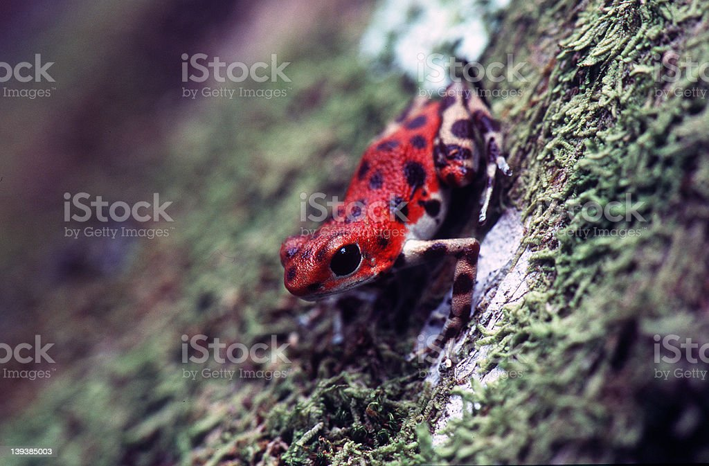Poison Dart Frog royalty-free stock photo