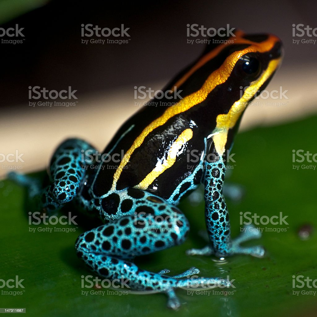 Poison Dart Frog Sitting on a Leaf stock photo