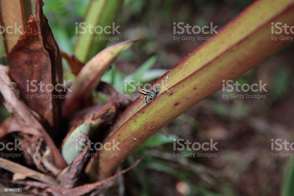 Poison dart frog sitting on green leaf in amazon, Brazil royalty-free stock photo
