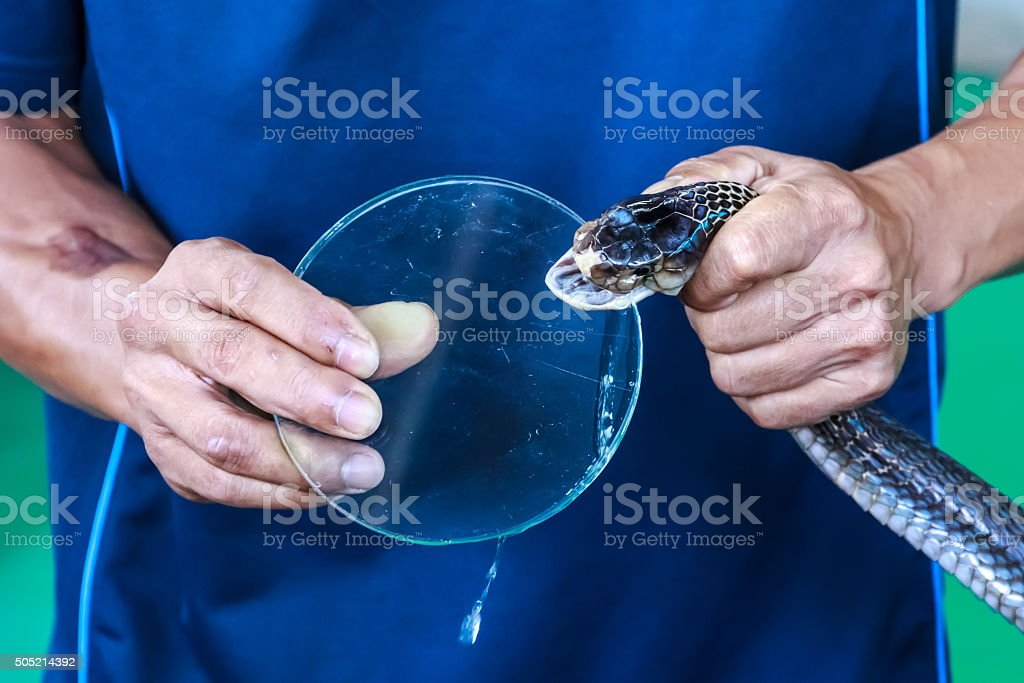 Poison drops of a snake cobra on glass stock photo