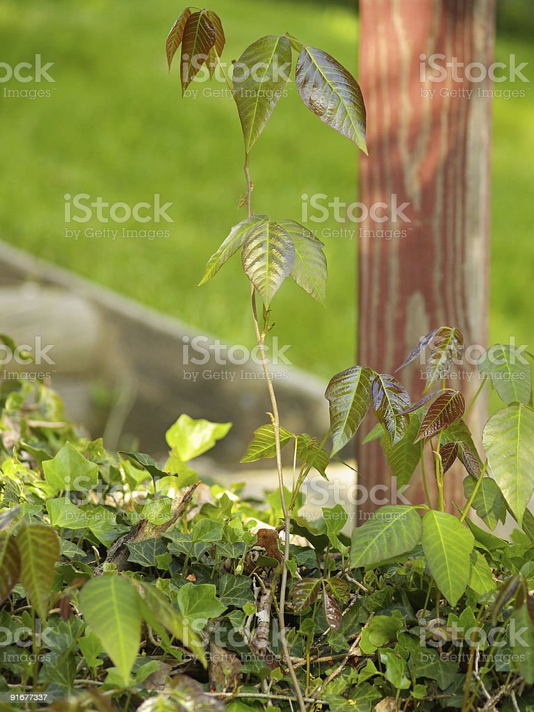 Poison ivy by a post stock photo