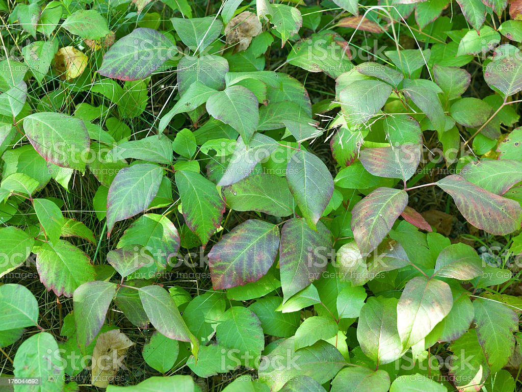 Poison Ivy late summer stock photo