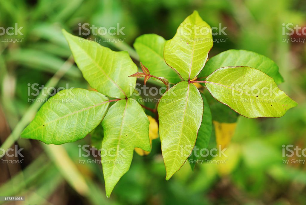 Poison Ivy leaves stock photo