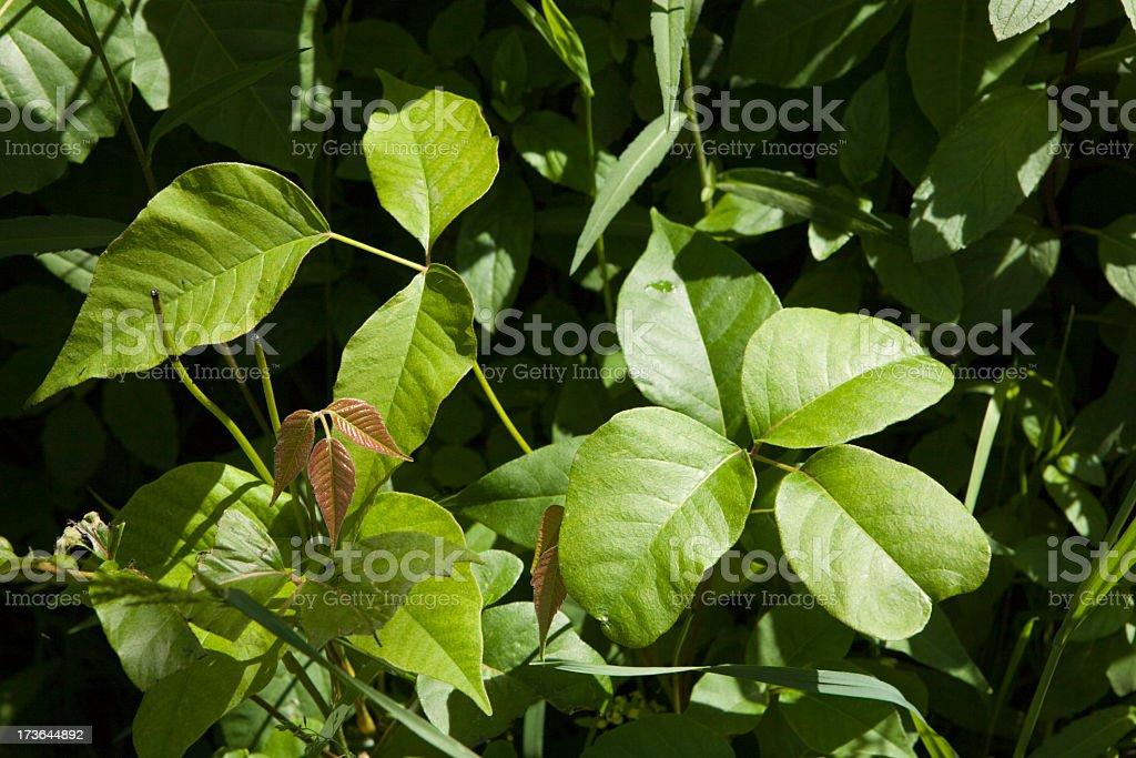 Poison Ivy stock photo
