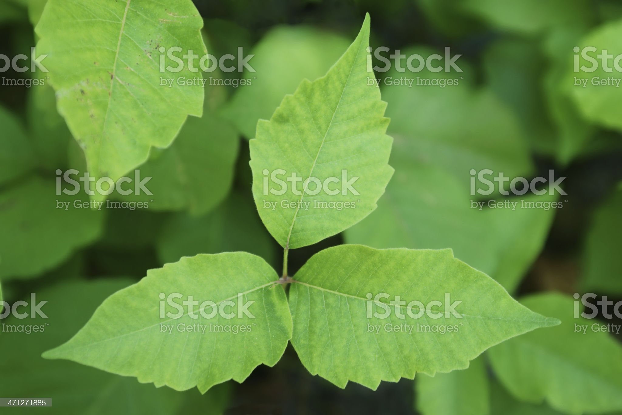 Poison Ivy (Toxicodendron radicans) royalty-free stock photo