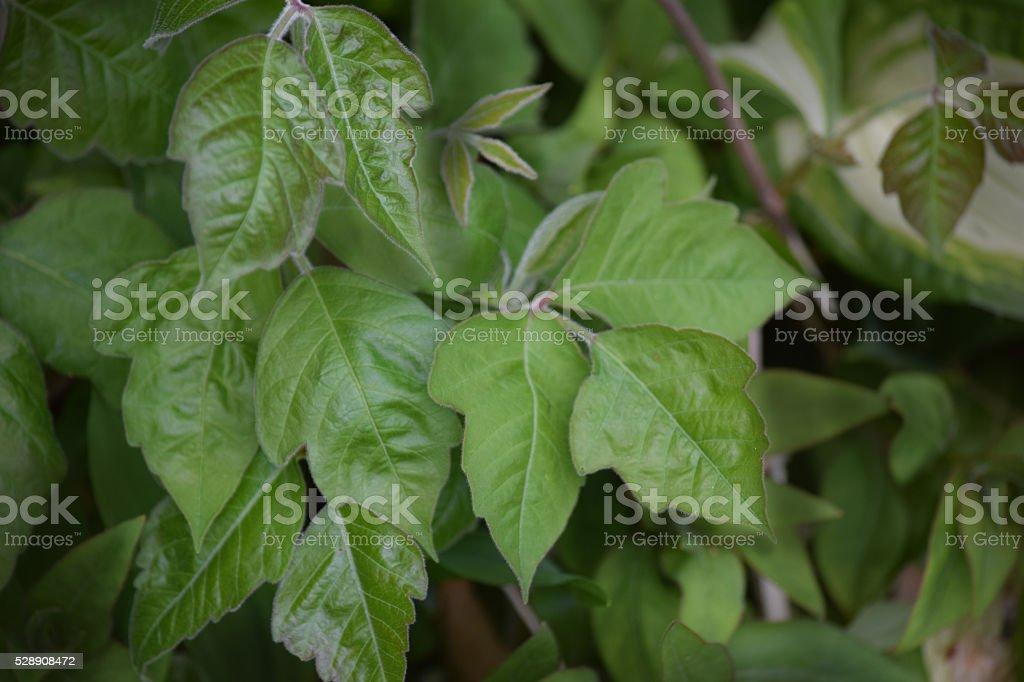 Poison ivy plant stock photo