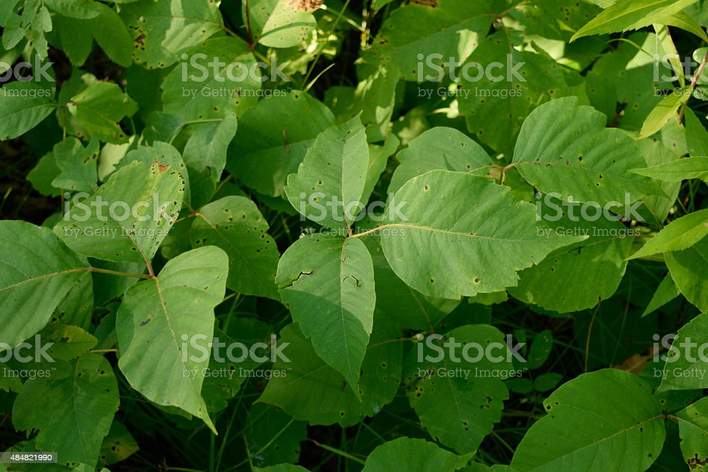 Poison Ivy (Toxicodendron radicans) Plants in Summer stock photo