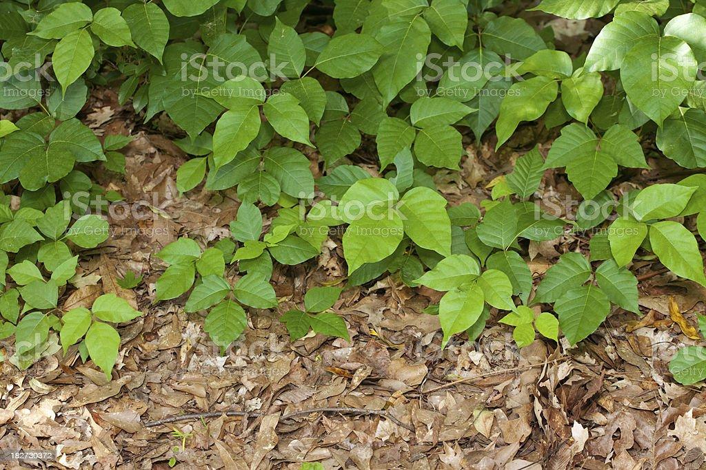 Poison Ivy Plants royalty-free stock photo