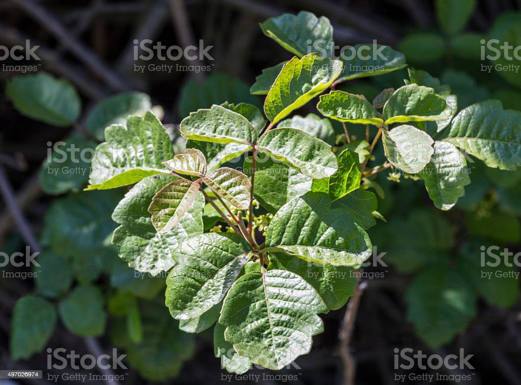 Poison Oak Bush stock photo