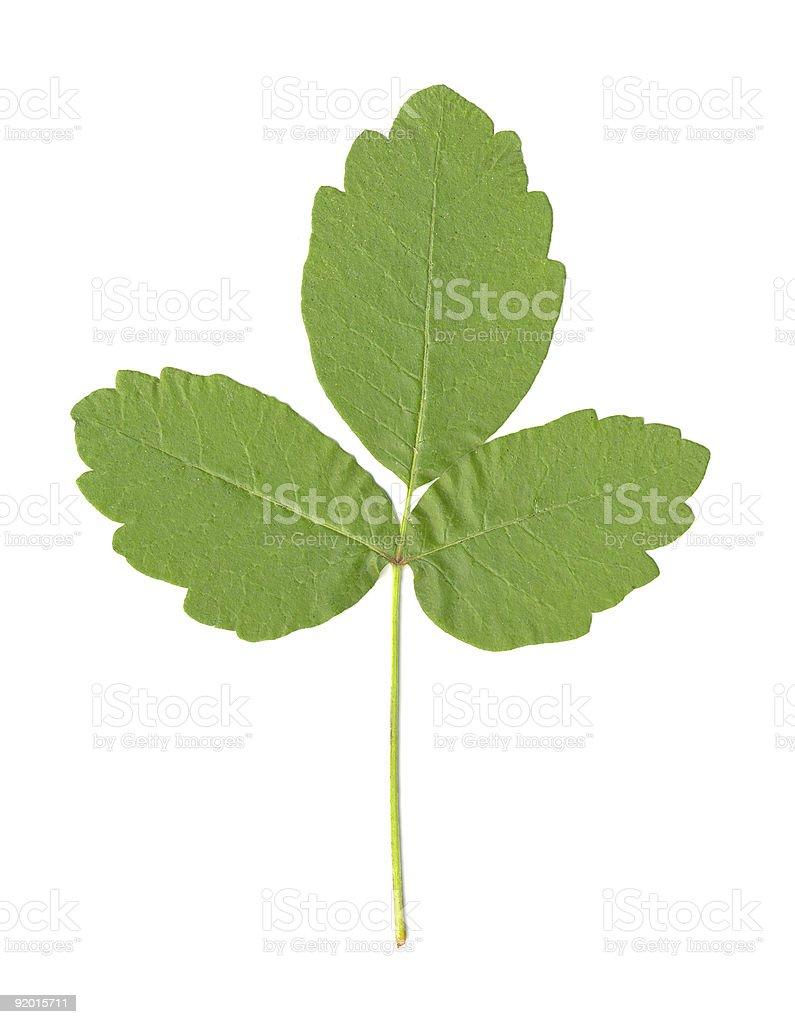 Poison Oak Leaf isolated stock photo