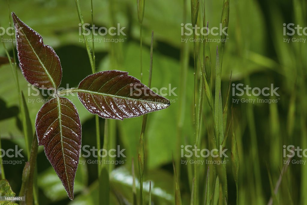 Poison Oak Leaves stock photo
