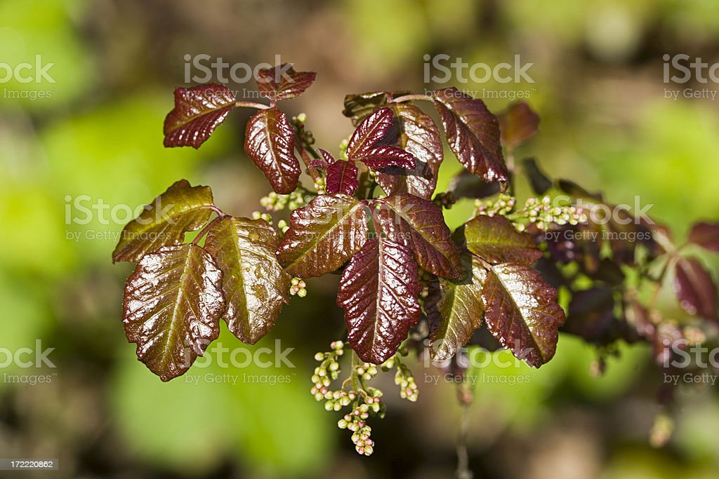Poison Oak Leaves royalty-free stock photo