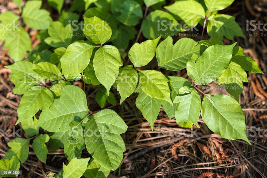 Poison Oak Leaves - Toxicodendron radicans stock photo
