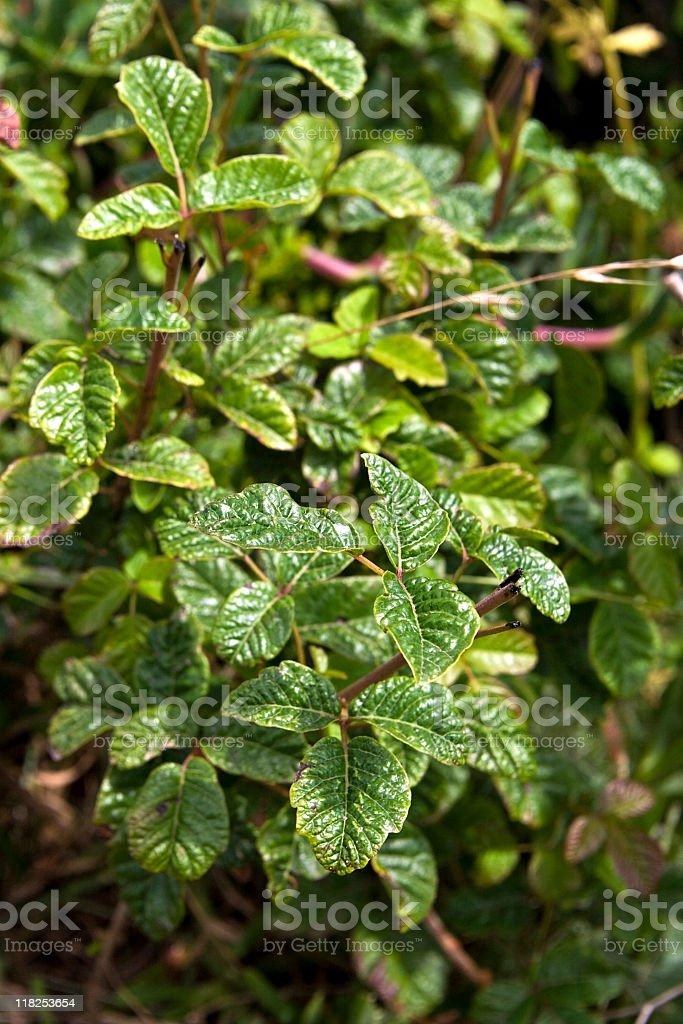 Poison Oak royalty-free stock photo