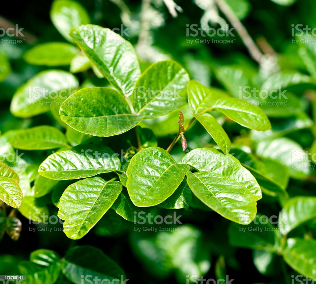 Poison oak stock photo