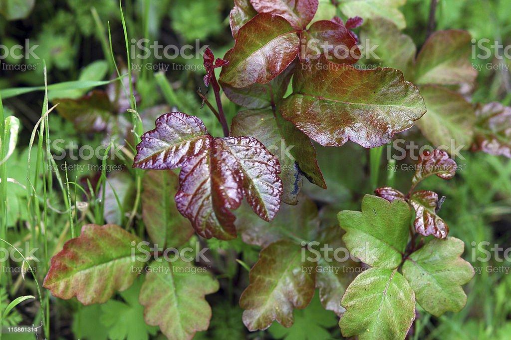 poison oak, Toxicodendron diversilobum royalty-free stock photo