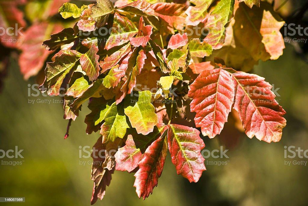 Poison Oak - Toxicodendron diversilobum stock photo