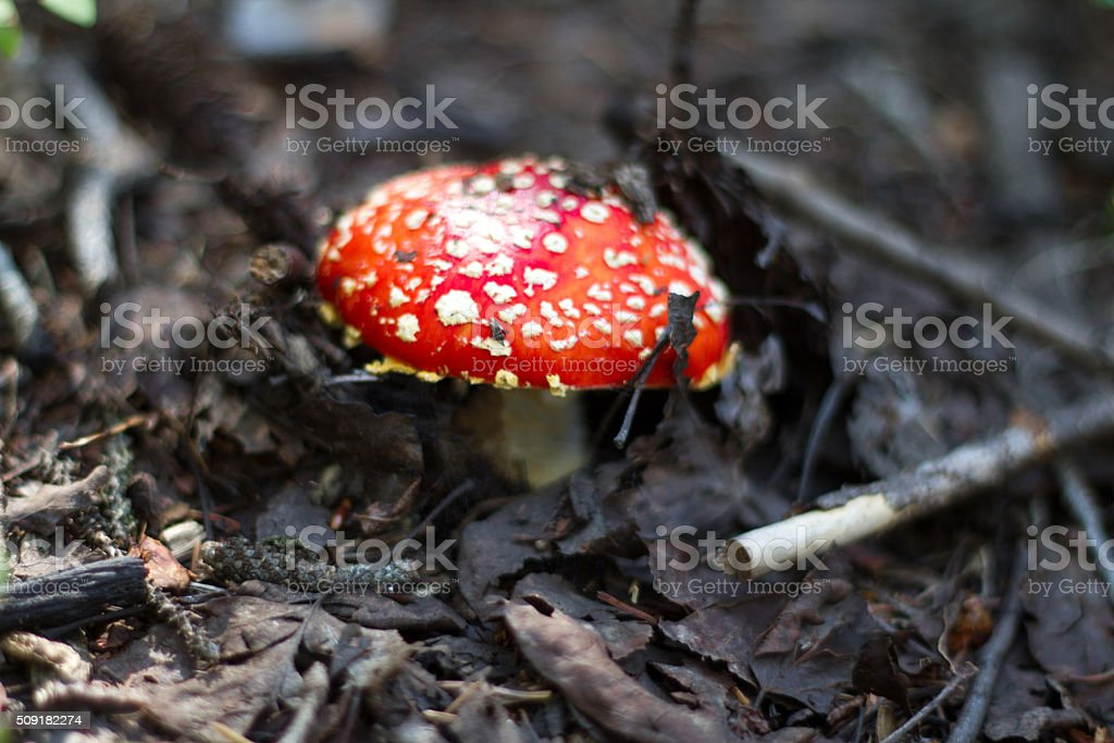 Poison Red Spotted Fairy Tale Mushroom in the Forest stock photo