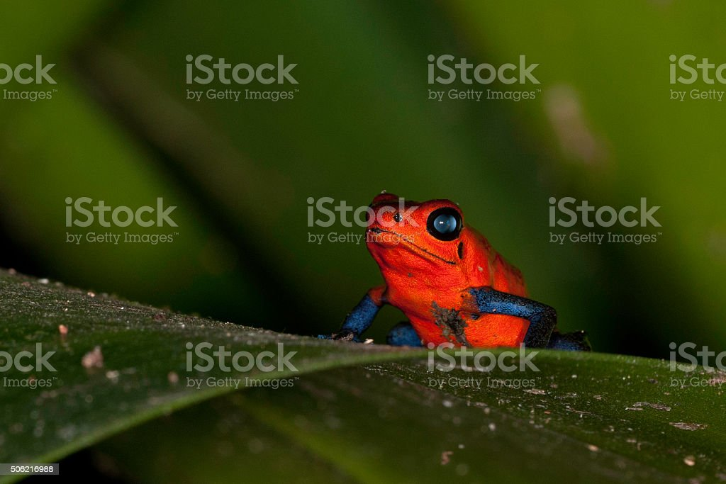 Poison Strawberry Dart Frog stock photo