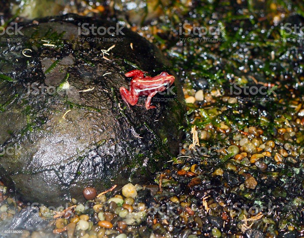poison-arrow frog stock photo