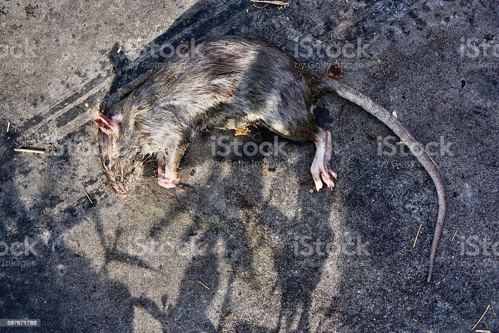 Poisoned rodent rat stock photo