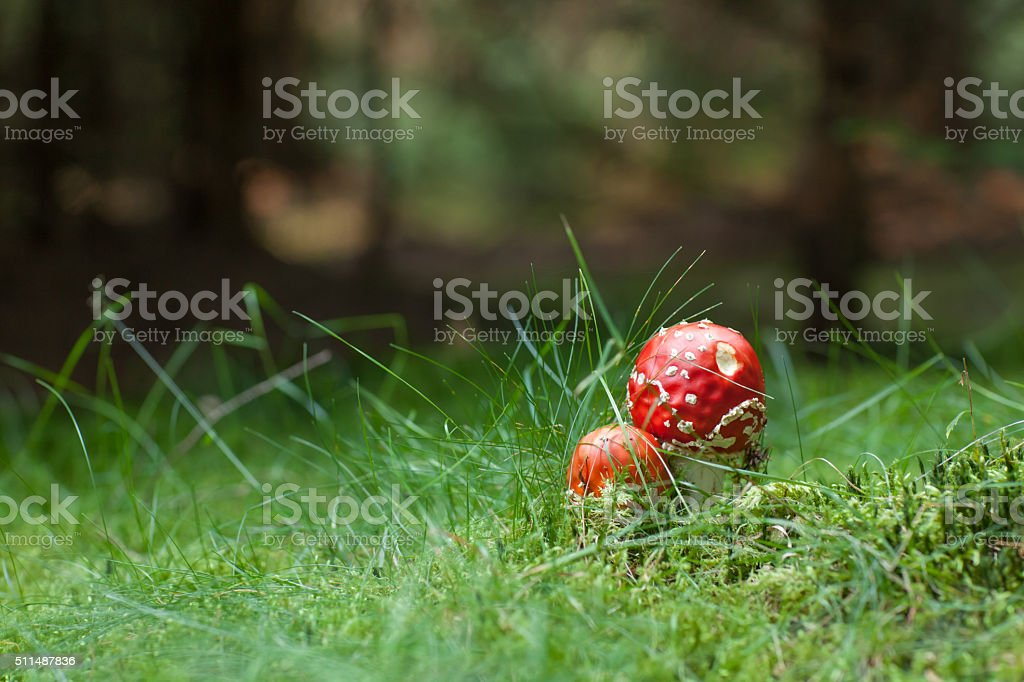 Poisonous Amanita mushrooms stock photo