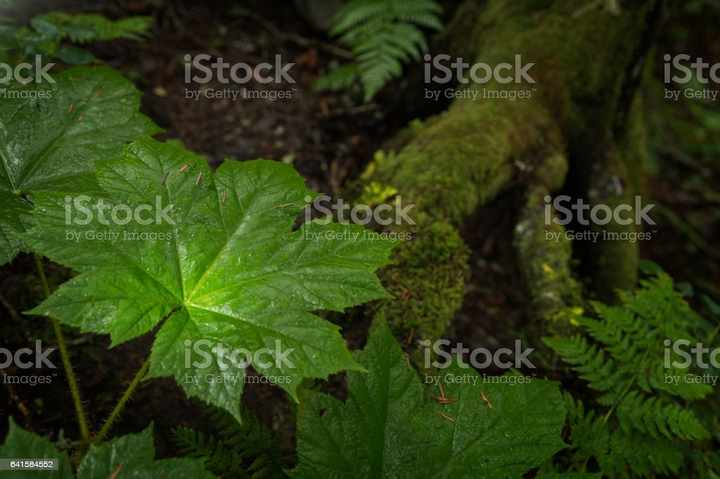 Poisonous Devil's Claw stock photo