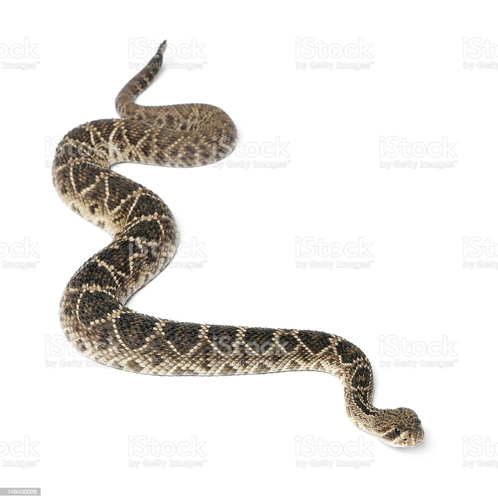 Poisonous eastern diamondback rattlesnake stock photo