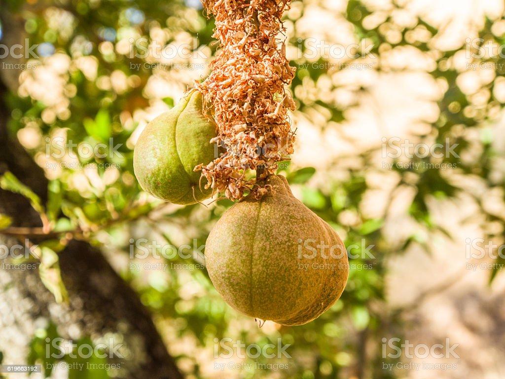 Poisonous Fruit Hanging on Tree stock photo