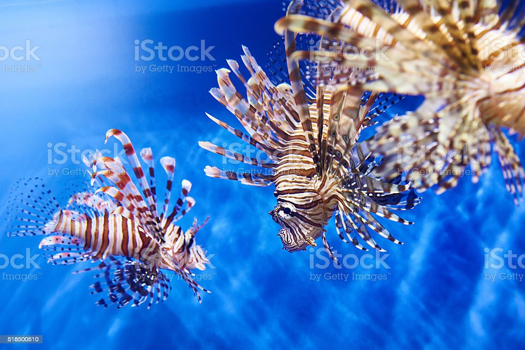 Poisonous lionfish in blue water sea stock photo