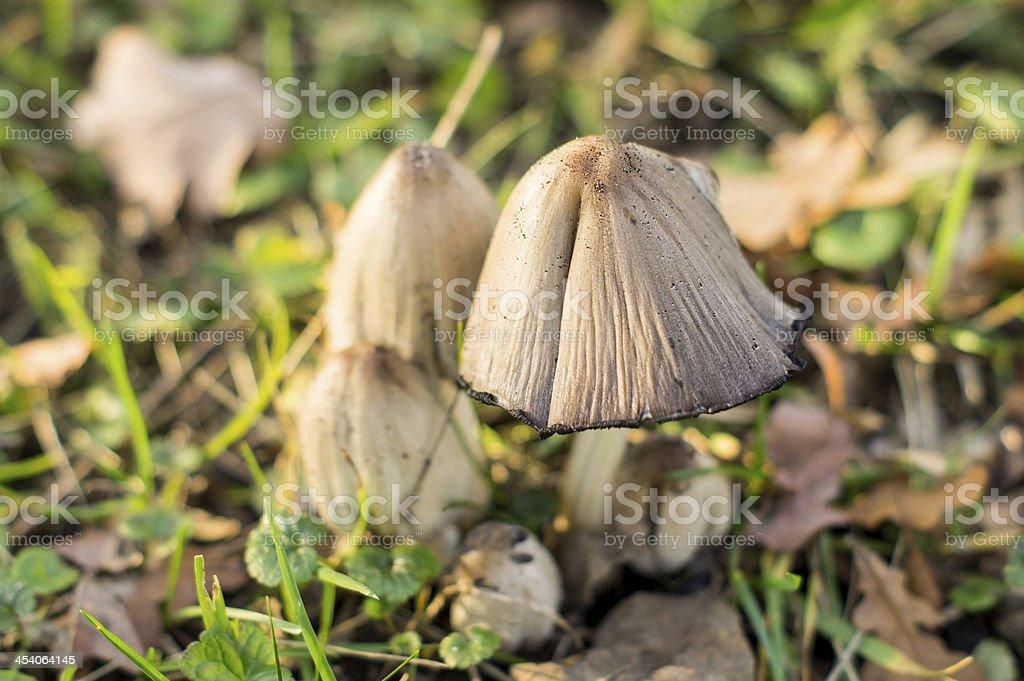 poisonous mushroom stock photo