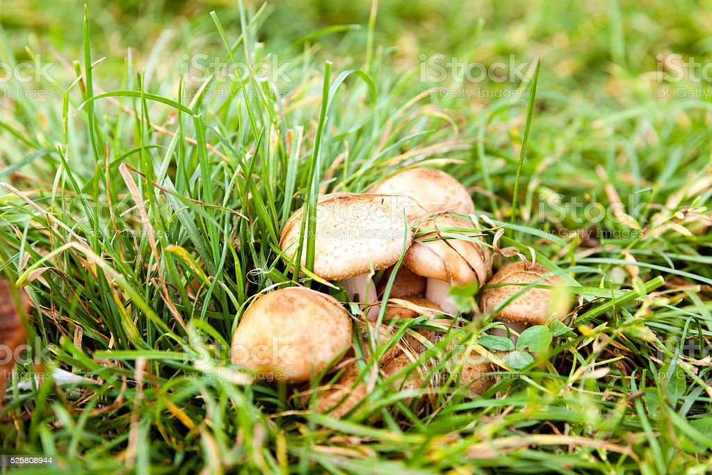 poisonous mushrooms, grass stock photo