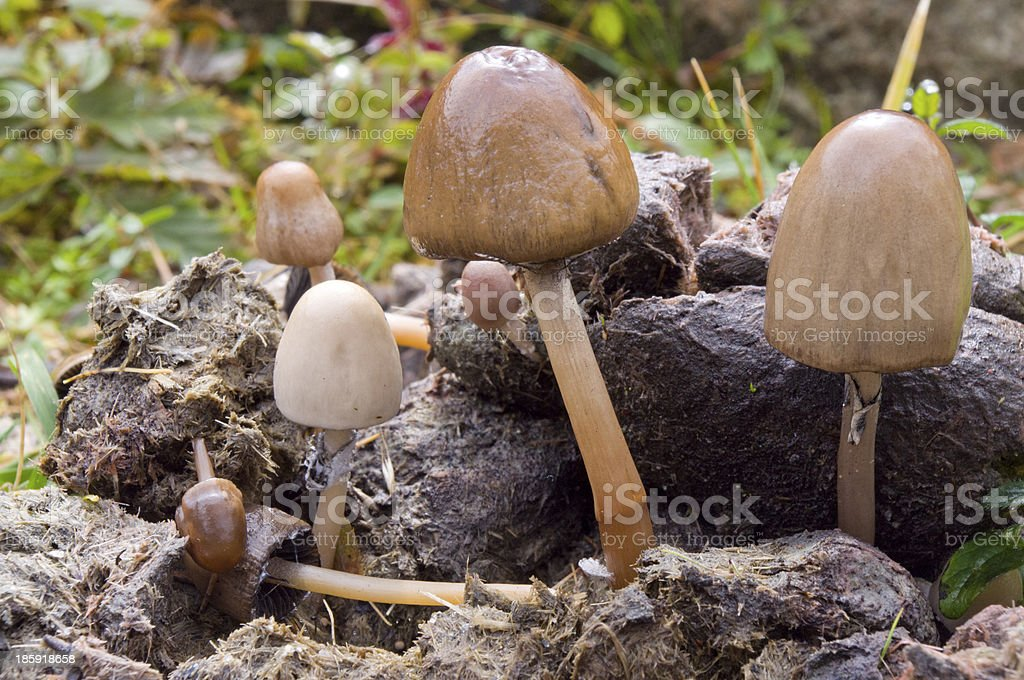 Poisonous mushrooms growing on dung among grass royalty-free stock photo