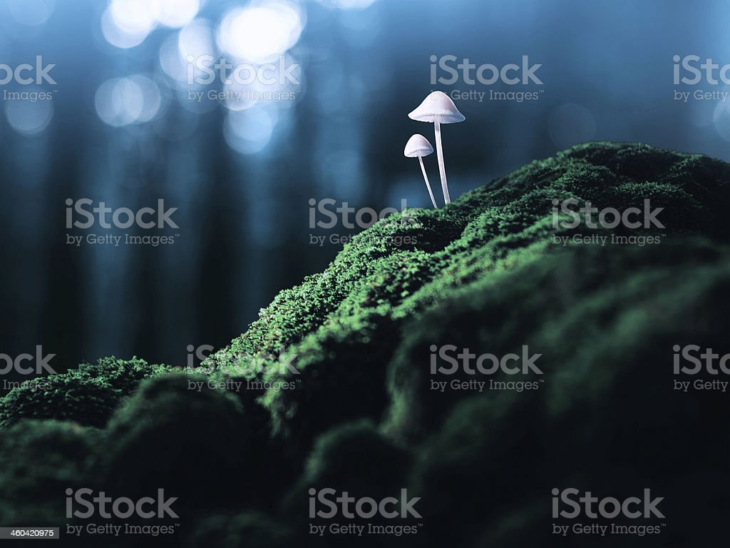 Poisonous mushrooms in the faraway forest stock photo