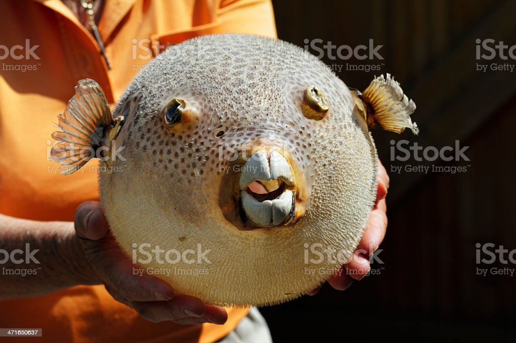Poisonous pufferfish or balloon fish source of fugu royalty-free stock photo
