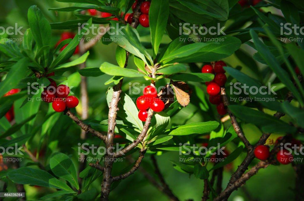 Poisonous red fruits of Daphne mezereum stock photo