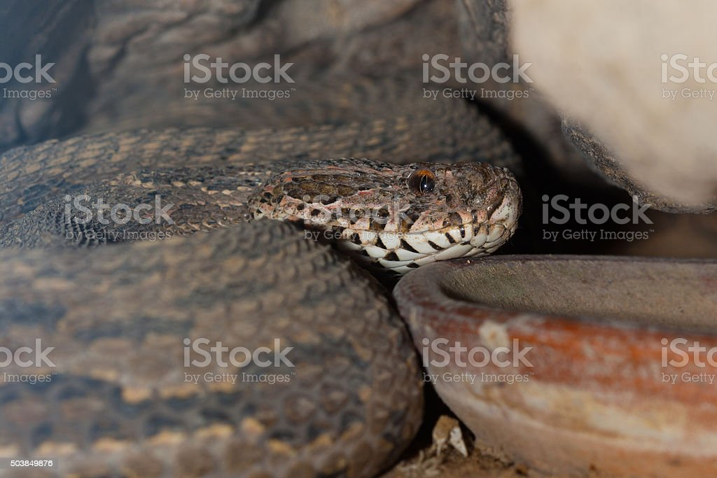 Poisonous snake is in the terrarium, close up. stock photo