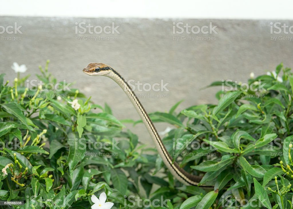 Poisonous Snake peaking out of the Garden Hedge, Cambodia stock photo