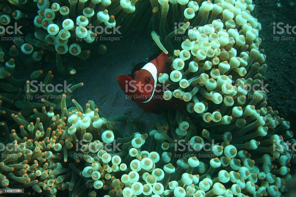 poisson clown dans son anemone stock photo