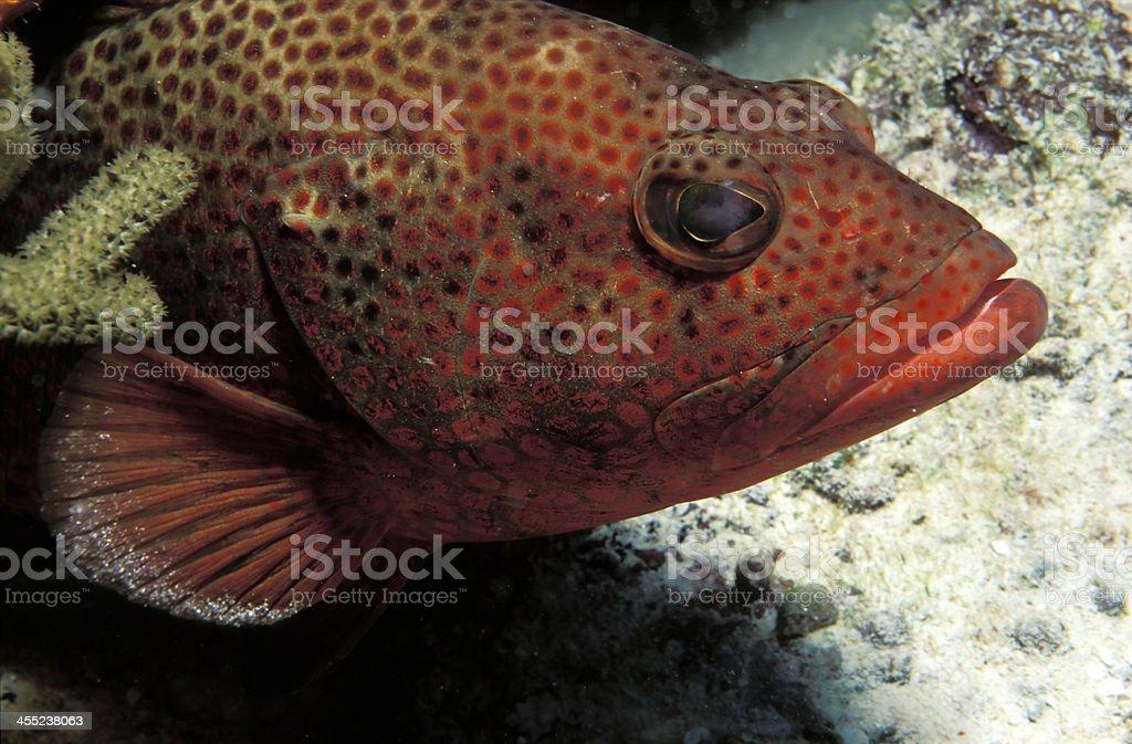 poisson m?rou mer rouge tropical stock photo