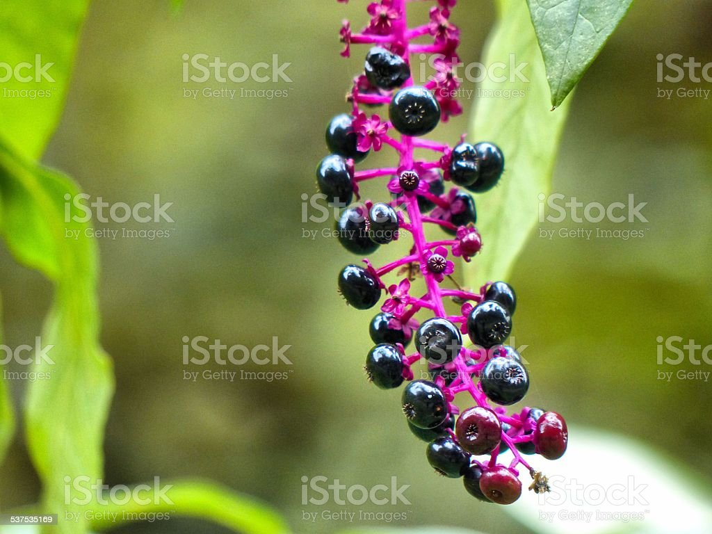 Pokeberries stock photo