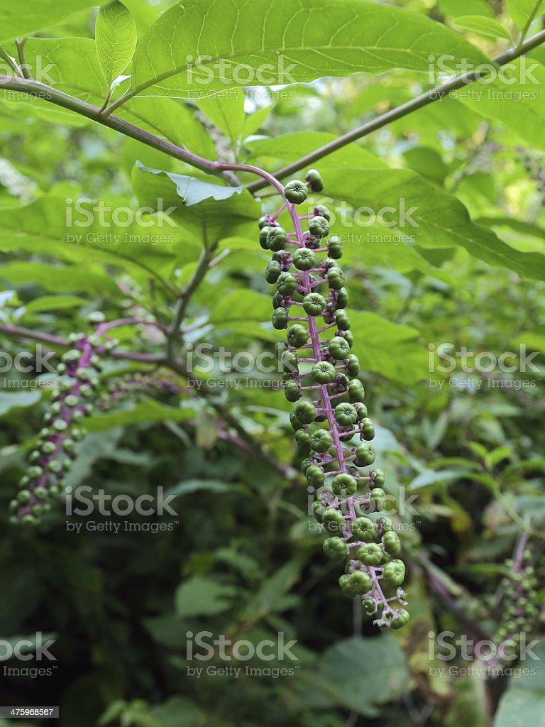 pokeberry stock photo