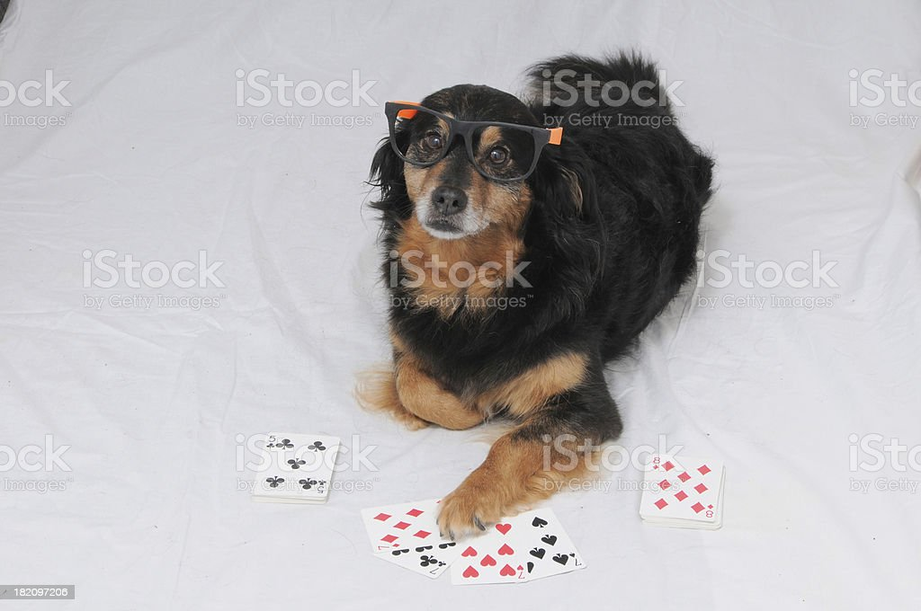 Poker Dog royalty-free stock photo