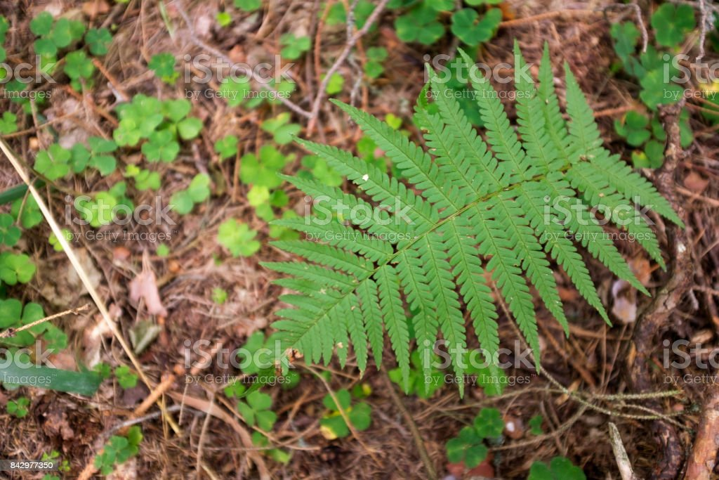Poland, Białowieża Forest. Fern in the forest. stock photo