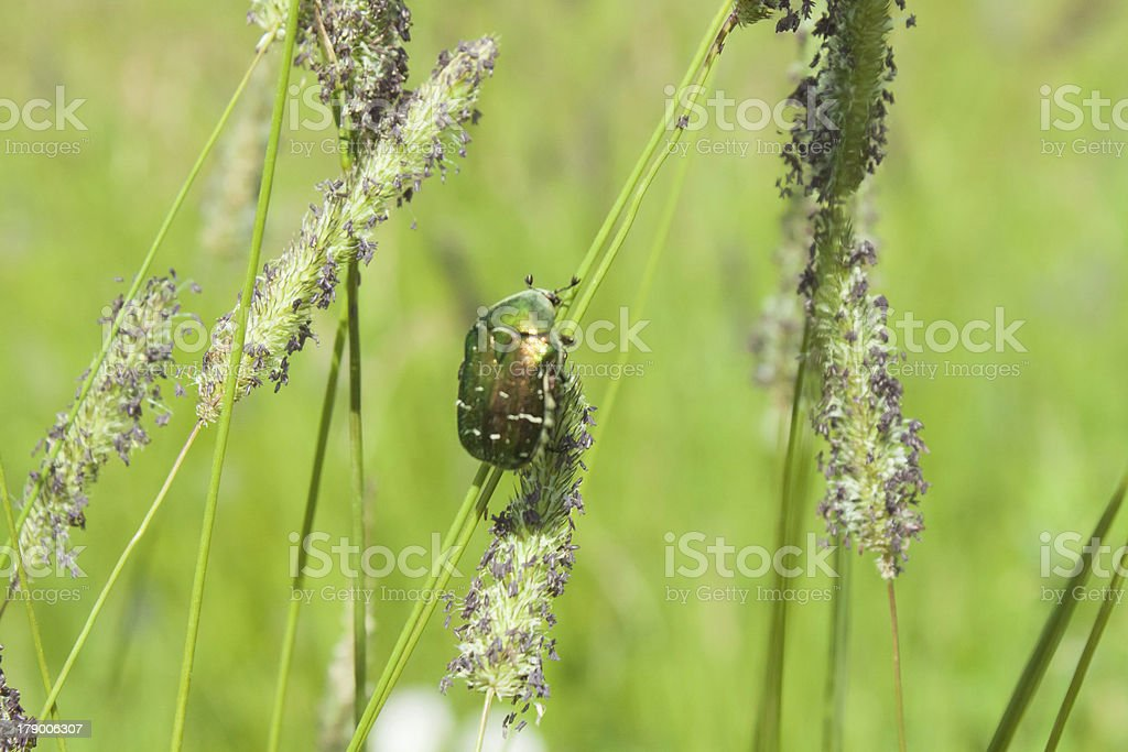 Poland, Rose Chafer Beetle royalty-free stock photo