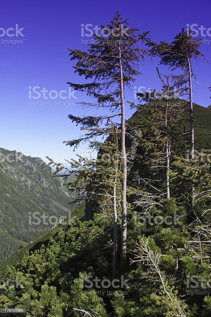 Poland, Tatra Maountains, Pine Trees royalty-free stock photo