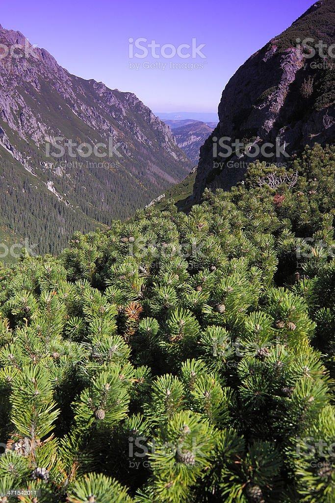 Poland, Tatra Mountans, Dwarf Pine stock photo