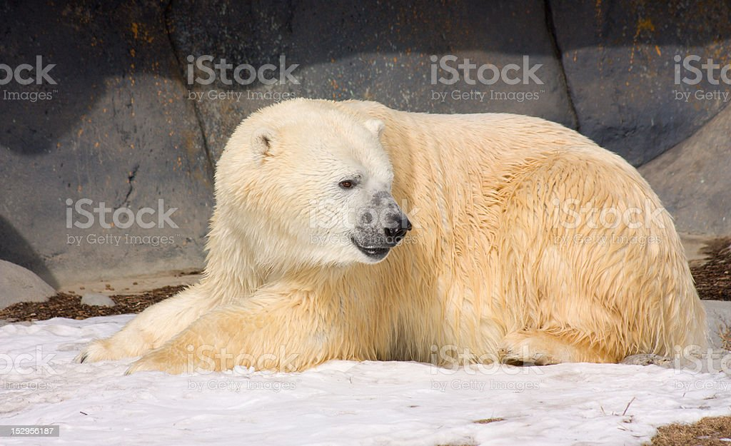 Polar bear after lunch stock photo