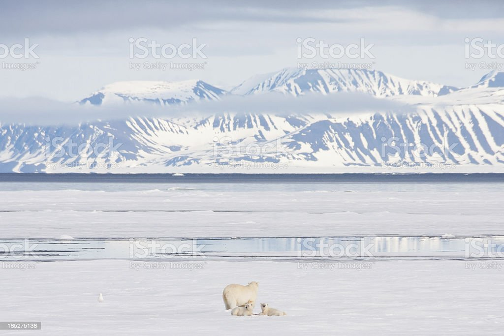 Polar Bear and Cubs on Arctic Sea Ice stock photo