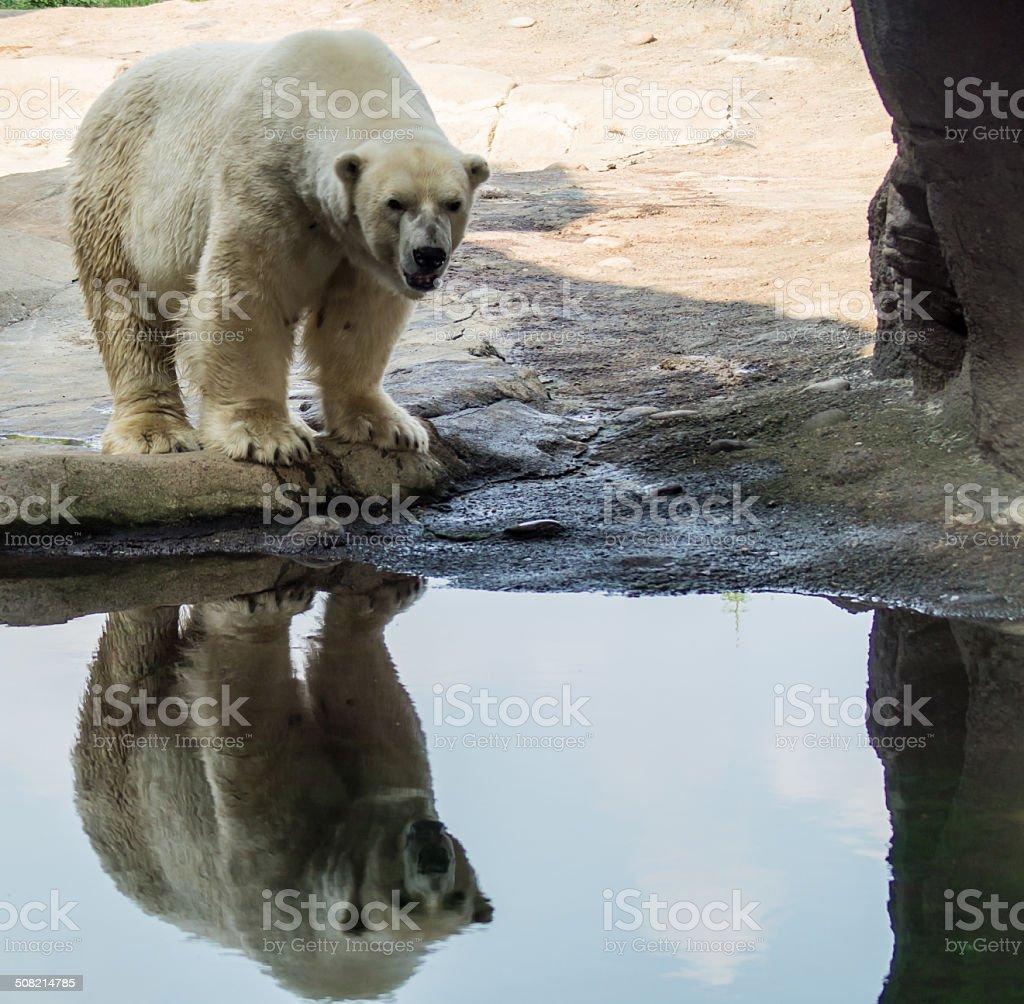 Polar Bear and His Reflection stock photo